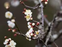 もう梅が開花 - - 光景彡z工房 - ◇ SeasonII ◇