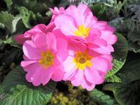 「愛のエントランス」は可愛い花がたくさん♪ - 神戸布引ハーブ園 ハーブガイド ハーブ花ごよみ