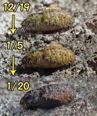 真冬のクロツバメ蛹 - 秩父の蝶