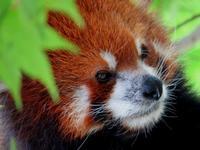 釧路市動物園のレッサーパンダ紀行 - (続)レッサーパンダ紀行