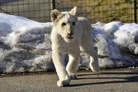 2019.1.5 東北サファリパーク☆ホワイトライオンのリズムちゃま【White lion】 - 青空に浮かぶ月を眺めながら