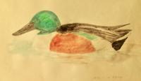 #野鳥スケッチ #ネイチャー・ジャーナル 『ハシビロガモ』 - スケッチ感察ノート (Nature journal)