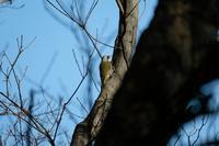 ■アオゲラがいた!19.1.20 - 舞岡公園の自然2