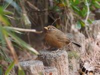 ガビチョウが出てきました - コーヒー党の野鳥と自然 パート2