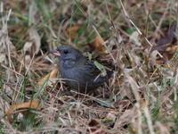 クロジが出てくれました - コーヒー党の野鳥と自然 パート2
