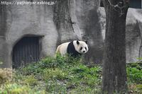 2018年11月成都大熊猫繁殖研究基地その4ウロウロ陽ちゃん - ハープの徒然草