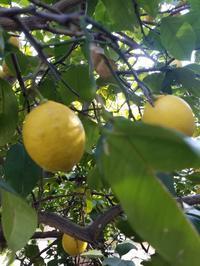 レモン - 食いしん坊イノキチとカイトの日記