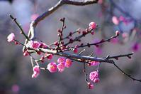 梅ぼちぼち咲き始めて - 生きる。撮る。