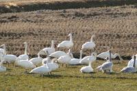 公園下の白鳥の群れ - 長岡・夢いっぱい公園