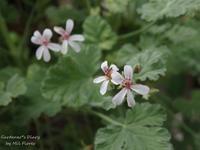 Geranio perfumado - Gardener*s Diary