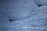 鴨川雑景2019年1月-2 - 写楽彩2