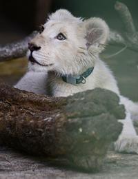 2018.4.21 東北サファリパーク☆ホワイトライオンのひふみたん【White lion baby】 - 青空に浮かぶ月を眺めながら