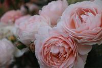 アンブリッジローズがカタログ落ちって! - my small garden~sugar plum~