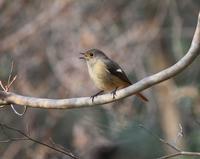 今日の鳥さん190120 - 万願寺通信