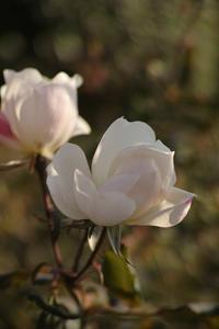 Rose Garden - S w a m p y D o g - my laidback life