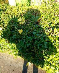 1/21(月)③        緑のお化けと道草ミモザ。 - Evergreen. ~常磐に唐草、庭の花~