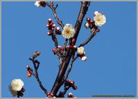 梅の花がちらほら - 野鳥の素顔 <野鳥と日々の出来事>