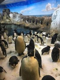 もふもふのエンペラーペンギンの赤ちゃん - 山とPANDA