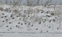 雪の高原ハギマシコハイタカニャンコ - 鳥さんと遊ぼう