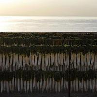 三浦の彩り大根のカーテン18.12.01 07:19 - スナップ寅さんの「日々是口実」