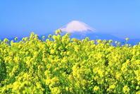 31年1月の富士(16)ソレイユの丘の菜の花と富士 - 富士への散歩道 ~撮影記~