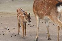 生後一週間のヤクシカの赤ちゃん(井の頭自然文化園) - 続々・動物園ありマス。