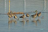 氷上のマガン達 - barbersanの野鳥観察