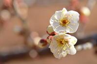 梅が咲きました - つれづれ日記