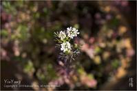コリアンダーの花、東京 - Yin Yang 陰陽(アジアンフォトエッセイ)