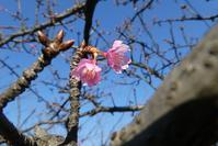 カワヅザクラが咲いていた@散歩道 - そらいろのパレット