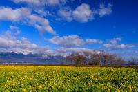 早春の菜の花畑(大津湖岸なぎさ公園) - 花景色-K.W.C. PhotoBlog