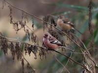 茂みの中のベニマシコ - コーヒー党の野鳥と自然 パート2