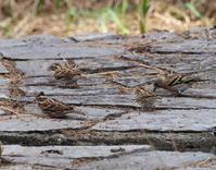 カシラダカがいっぱい庚申山公園 - コーヒー党の野鳥と自然 パート2
