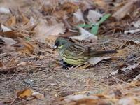アオジも間近に出てくれました - コーヒー党の野鳥と自然 パート2