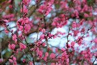 梅の香り - まほろば日記