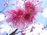 日本一早い桜まつり♬ - なんくるないさ~、ワンッ!!