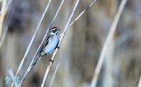 葦の中を落ち着かずに飛ぶ小鳥がおり、撮影したところオオジュした、一種類加算された。誠 - 皇 昇