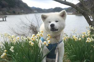 水仙を求めて - 秋田犬「大和と飛鳥丸」の日々Ⅱ