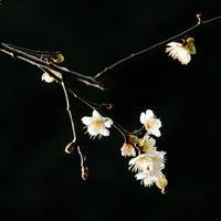 梅の花 - 長い木の橋