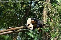 2018年11月成都大熊猫繁殖研究基地その9暴れ陽ちゃん1 - ハープの徒然草
