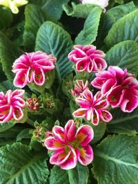 リボン咲きプリムラと、私の庭への想い - piecing・針仕事と庭仕事の日々
