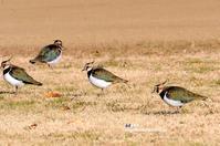 群れでいるタゲリ - azure 自然散策 ~自然・季節・野鳥~