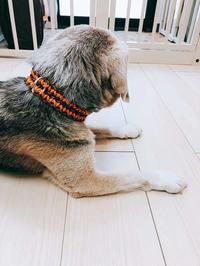 新しい首輪 ♬ - ビーグル犬フロドのひとりごと