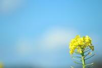 雲と菜の花 - 猪こっと猛進