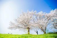 桜前撮り受付中 - maru*photo   カメラマン 住本 真理子