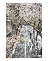桜待ち - ♉ mototaurus photography