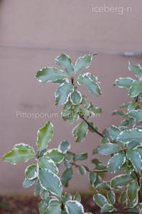 葉が美しいピットスポルム - 小さな庭 2