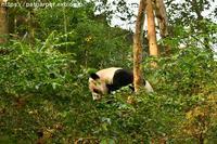 2018年11月成都大熊猫繁殖研究基地その10暴れ陽ちゃん2 - ハープの徒然草