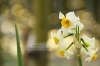 Narcissus*Ⅰ - It's only photo 2