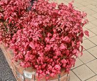 見事な紅葉です,オタフクナンテン - 楽餓鬼